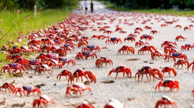 Christmas Island Crabs.Christmas Island The Impressive Migration Of Red Crabs