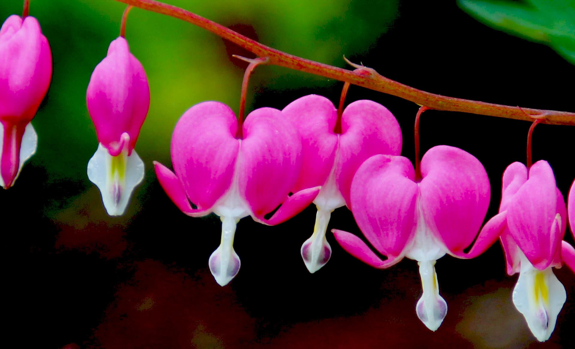 Bleeding Heart – A Pretty Flower in the Heart