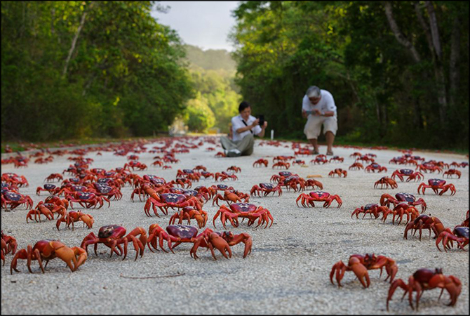 Christmas Island: The Impressive Migration of Red Crabs